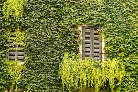 Window in a wall completely overgrown with ivy Stock fotó