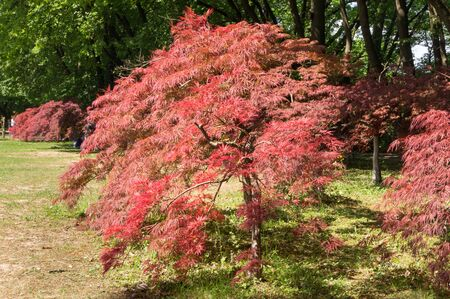 Small Japanese red maple tree