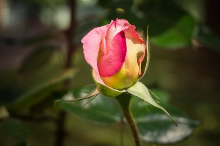 Small rose bud just bloomed