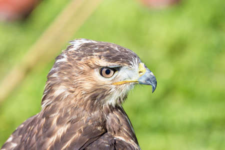 falconry: portrait of a hawk, photographed during a show of falconry