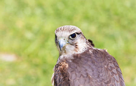 falconry: portrait of a hawk photographed during a show of falconry Stock Photo