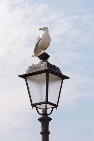 lamp post: herring gull resting on lamp post