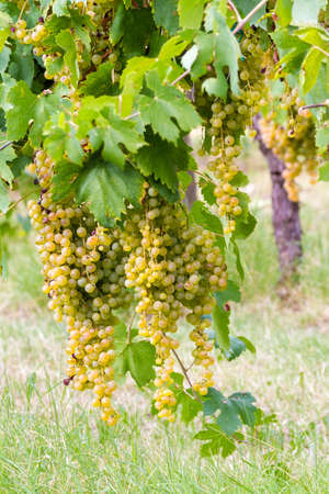 bunches of white grapes hanging from the vineyard