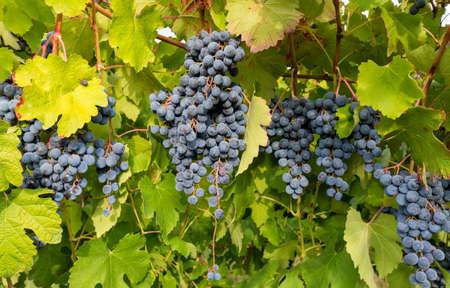 vineyards full of grapes