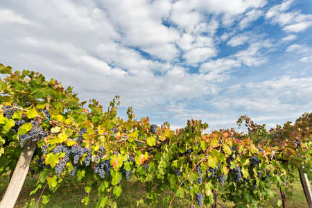 looming: ominous clouds looming on the colors of the vineyard Stock Photo