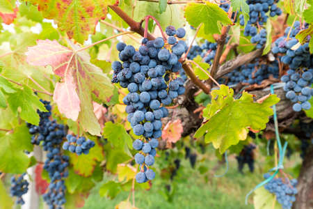 bunch of grapes between the leaves of a vineyard Stock Photo