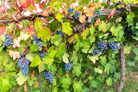 wonderful colors of autumn in the vineyard