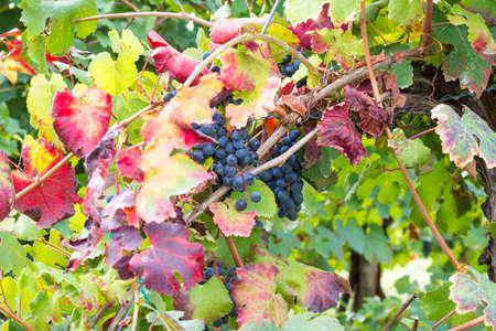 grape clusters hidden behind red leaves