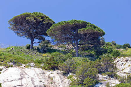 two pine trees stand on the cliff Stock Photo