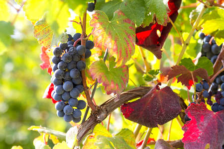 grapes illuminated by the rays of the sun