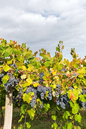 harvest field: colored vineyard in the shade of clouds Stock Photo