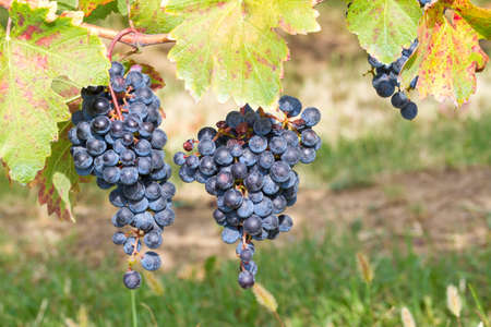 field crop: couple of bunches of black grapes in the vineyard