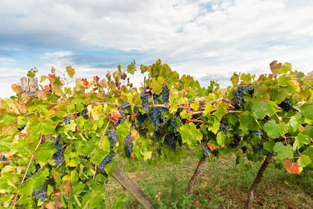 in full autumn vineyards are filled with colors
