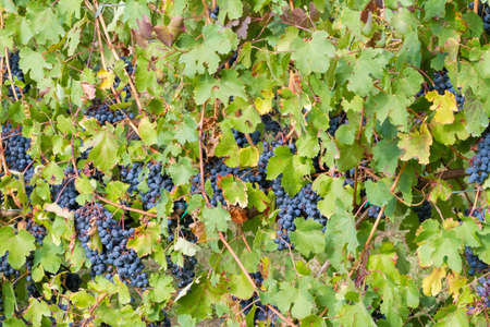 background of a vineyard of grapes and leaves Stock Photo