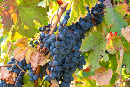 bunch of black grapes in the sun's rays Stock Photo
