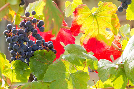 shades of autumn in the vineyard