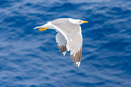 seagull raises his wings to go in flight Stock Photo