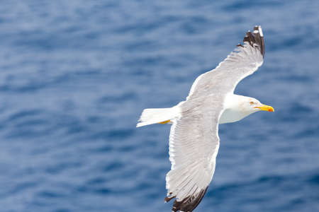 seagull flying over the sea opening his wings Stock Photo