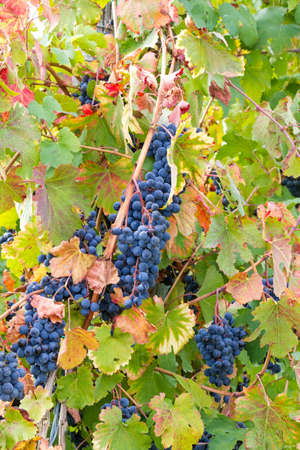 magic of colors in the vineyard Stock Photo