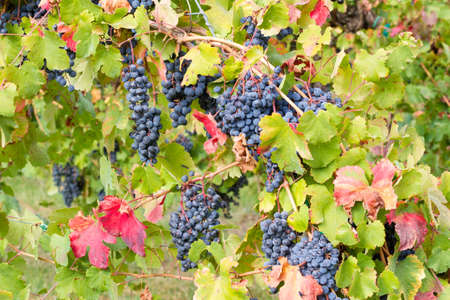 The first colors of autumn in the vineyard
