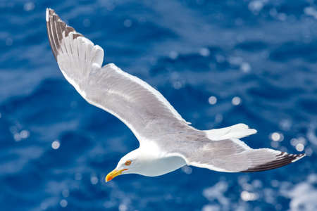 seagull flies proudly above the waves of the sea