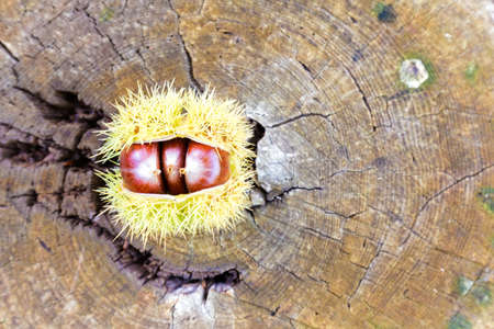 chestnuts over a log of wood
