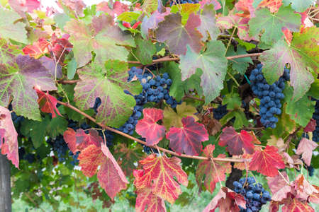 in the vineyard full of autumn colors Stock Photo