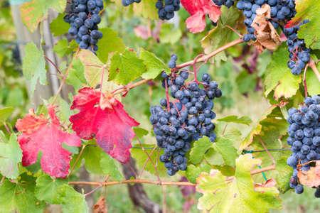 beginning of autumn in the vineyard Stock Photo