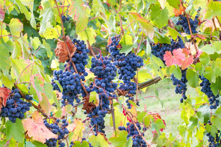 cascade of grapes in the vineyard Stock Photo