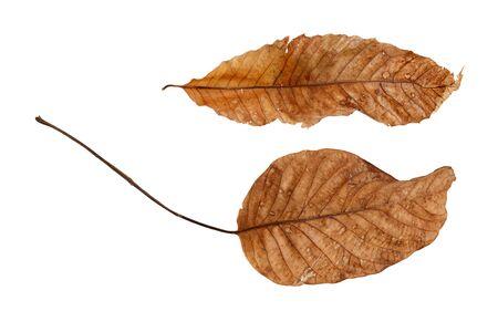 sapless: Due diverse foglie secche isolati su sfondo bianco