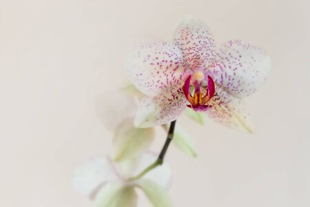 florescence: Stem orchid flower white with pink spots. Neutral background