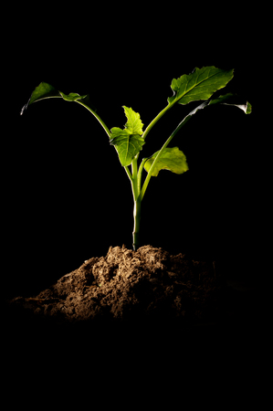 topsoil: Growth of a small plant bud with pile of topsoil on a black background illuminated by a spot light from the left. Backlit through the leaves.