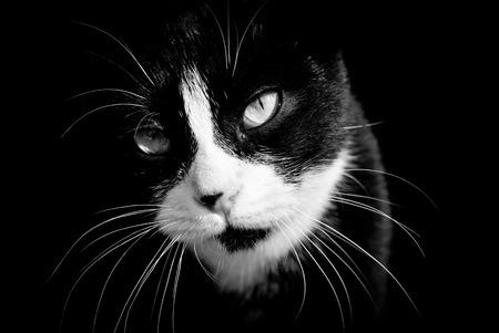 ojos negros: Primer plano de gato blanco y negro. Fotografía en blanco y negro.