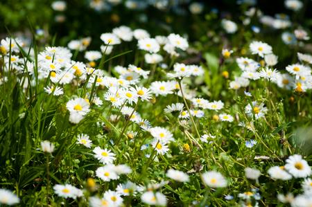 pâquerette: Champ de fleurs de marguerite et l'herbe fraîche Banque d'images