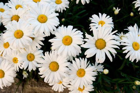 white daisies: Large white daisies in close up group Stock Photo