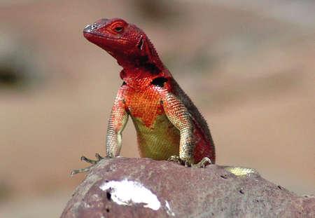 lizard: Hembra de lagarto de lava en las islas galapagos