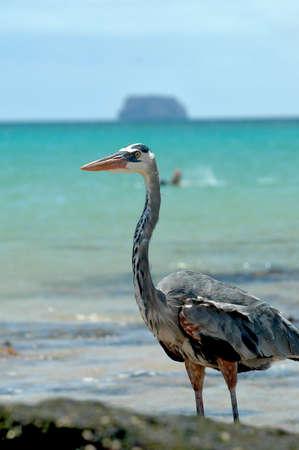 galapagos: Great Blue Heron at Galapagos islands Stock Photo