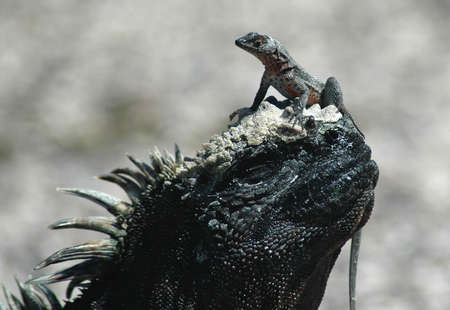 southamerica: Marine iguana and lava lizard at Fernandina , Galapagos islands