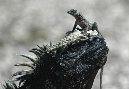 Lagarto marino de iguana y lava en Fernandina, Islas Galápagos