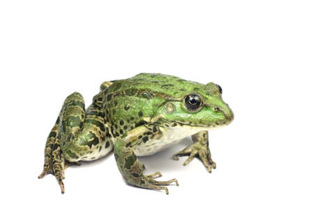 cold blooded: green frog on white background