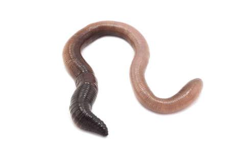 regenworm: grote regenworm op een witte