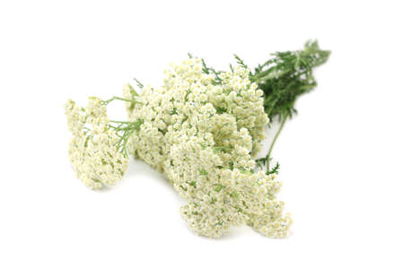 Yarrow bouquet on white