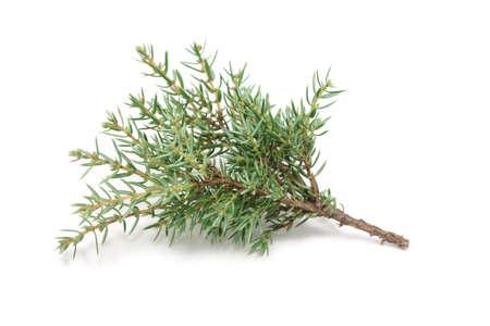 Cypress takje op een witte achtergrond Stockfoto