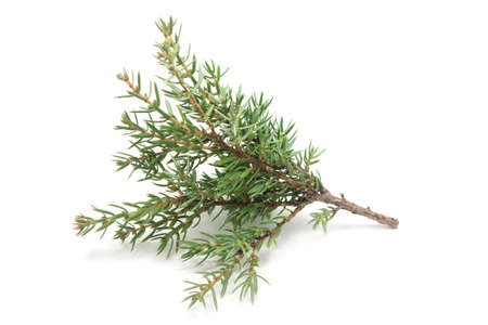 small branches of cypress on a white background