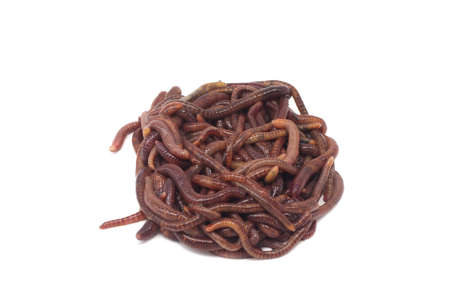 clump of red earthworms on a white background Stockfoto