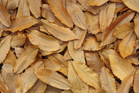 carpet of dried chestnut leaves, autumn