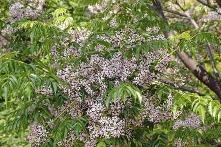 chinaberry tree in bloom, foliage and its cluster inflorescences