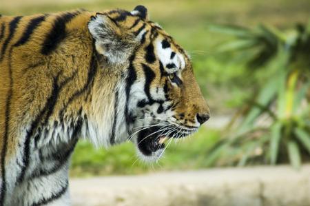 Siberian tigers profile