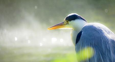 great gray heron portrait