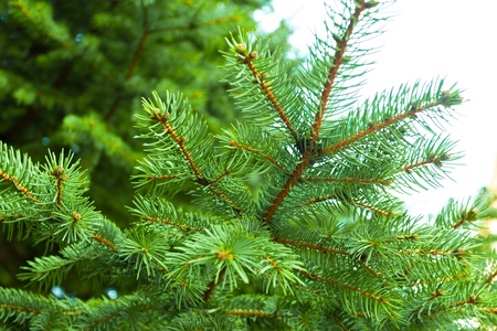 Branch of a coniferous tree